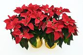 foto of poinsettia  - Two potted Poinsettia plants isolated on a white background used for Christmas displays and themes - JPG