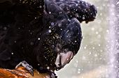 pic of cockatoos  - close up shot of a Redtailed black cockatoo taking a bath outdoors - JPG