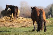 image of shire horse  - Big and heavy plow horse standing on a meadow and watching another horse eating - JPG