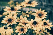 stock photo of black eyes  - A close up of black eyed susan flowers during the summer season - JPG