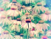 Dreaming Of Coneflowers - Retro