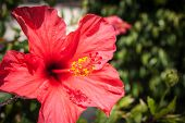 Red Hibiscus Flower, Andalusia, Spain