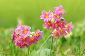 stock photo of cowslip  - pink cowslips in the garden at springtime - JPG