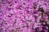 Vivid Pink Flowers, Marimutra, Catalonia, Spain