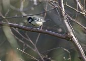 picture of tit  - Great Tit spotted outdoors in National Botanic Gardens Dublin - JPG