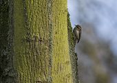 Tree Crepper
