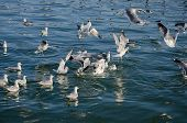 Gulls Swim In The Sea