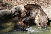 Постер, плакат: Young Bears Wrestling