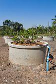 Drip watering system in lemon farm