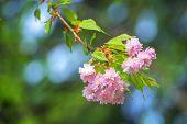 beauty sakura twig close up