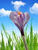 Crocus flower with dewy green grass