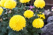 Yellow Flower Of Chrysanthemum.