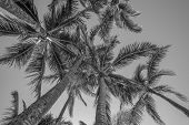 Coconut Palm Tree Grove