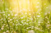 image of wildflowers  - Green grass and little white flowers on the field - JPG