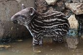 image of tapir  - a  young south american tapir sanding in the water - JPG