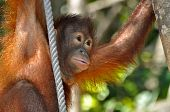 Cute Orangutan Baby