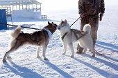 Two Dogs Siberian Husky