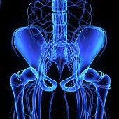 stock photo of pubis  - The hip bone is formed by three bones - JPG