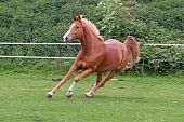 stock photo of running horse  - beautiful chesnut horse running free in nature - JPG