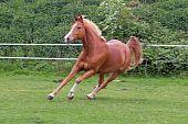 picture of running horse  - beautiful chesnut horse running free in nature - JPG
