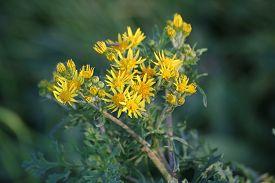 foto of century plant  - Blossoms of the ragwort  - JPG