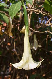 picture of angel-trumpet  - angel - JPG