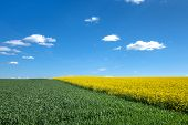 picture of rape-field  - A green cornfield and a yellow blooming rape field with diagonal run - JPG