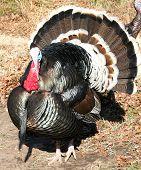 Tom Turkey In The Wild