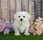 stock photo of maltipoo  - Cute little Maltipoo puppy sitting in the grass with flowers around her - JPG