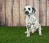 image of begging  - Very cute Dalmatian puppy sitting in the grass begging or pointing at something with copy space - JPG