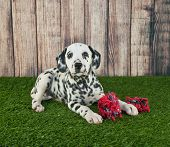 picture of toy dogs  - Sweet Dalmatian puppy laying in the grass outdoors with his dog toy along with copy space - JPG