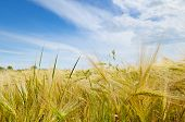 pic of fall-wheat  - A wheat field and a blue sky - JPG
