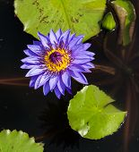 stock photo of water bug  - Big blue and purple water lily which has a yellow pollens on the dark water with green leafs - JPG