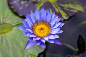picture of water bug  - Water lily in blue color with yellow pollens on the dark water - JPG