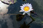 picture of water bug  - Light purple and white water lily is on the dark water - JPG