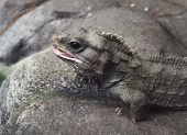 picture of tuatara  - a tuatara rests on a rock at the national aquarium of new zealand