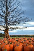 stock photo of hayride  - A spooky Halloween trees surrounded by pumpkins in a pumpkin patch - JPG