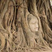 pic of gautama buddha  - Stone head of Buddha nestled in the embrace of bodhi tree - JPG