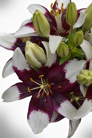 """stock photo of asiatic lily  - Hybrid Asiatic lily that is often referred to as """"cappuccino"""" on a white background. ** Note: Shallow depth of field - JPG"""