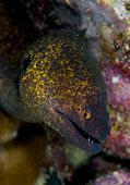 Yellow Margin Moray Eel Face