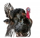 Wild Turkey, Meleagris gallopavo, in front of white background