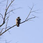 Hochgelegenen Hawk