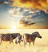 zebras on sunset