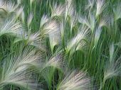 Foxtail Barley Weed