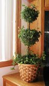 foto of english ivy  - english ivy topiary house plant in basket - JPG