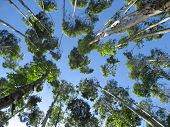 Forest Tree Tops With Blue Sky