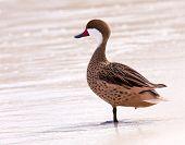 Bahama Duck On Sandy Beach