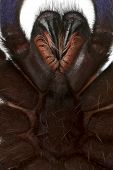 Постер, плакат: Крупным планом паука Тарантула Poecilotheria Metallica перед белый фон