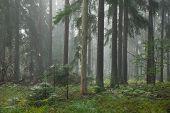 Coniferous Stand In Mist