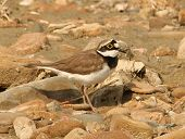 little ringed plover on the shore ( Charadrius dubius )
